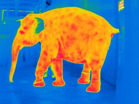 Thermographie Elefant 2